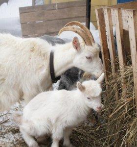 Продам стельных коз разного возраста