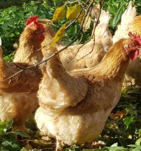 Инкубационное яйцо кур ( палевая мини мясная )