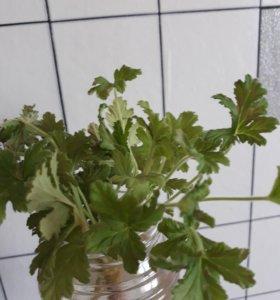 Хризантема лайм