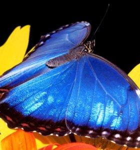Яркие Живые Бабочки из Непал Белый Морфо
