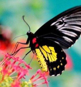 Яркие Живые Бабочки из Африки Everes argiade