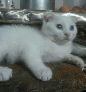 Котенок веслоухий