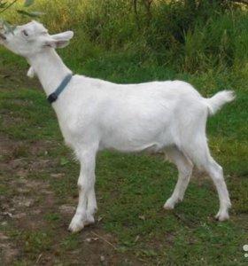 Заанеская козачка обмен