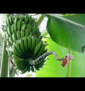 Банан комнатный саженцы