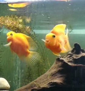 Пара рыб попугаев