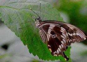 Яркие Живые Бабочки из Филиппин Белый Морфо