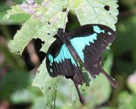 Яркие Живые Бабочки из Пакистана Азалия