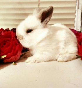 Кролики декоративные, вислоухие барашки