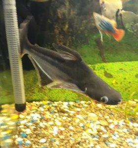 Пангасиус. Акулий сом. Обмен или продажа