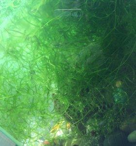 Продам водоросли в аквариум