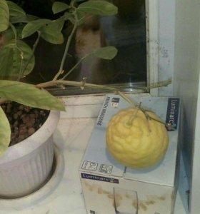 Растения лимон