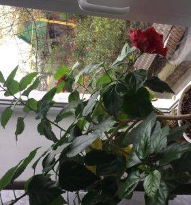 Комнатный цветы