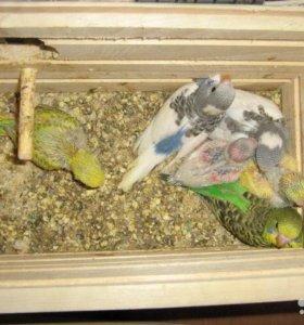 попугаи волнистые кировского происхождения