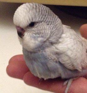 Птенец выставочный волнистый попугай