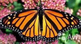 Яркие Живые Бабочки из Африки Белянка рапсовая
