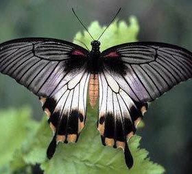 Восхитительные Живые Бабочки из Коста Рикки Лана