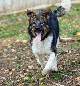 Собака Пит - 6 месяцев-даром