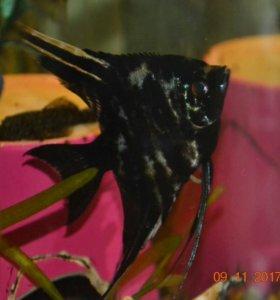 Рыбки скалярии 2шт