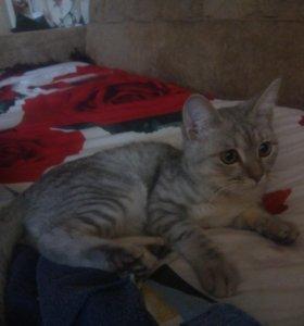 Чистокровный Британский котик(вискас)
