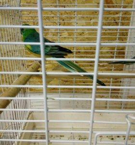 Пара певчих попугаев
