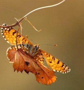 Экзотические Живые Бабочки из Африки Атакус