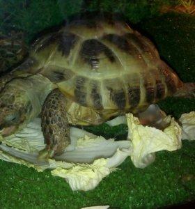 Черепаха среднеазиатская
