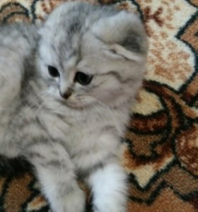 Продаю котенка