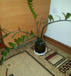 Замиокулькас( долларовое дерево)