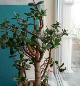Денежное дерево или толстянка
