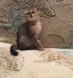 Шотландские котятки