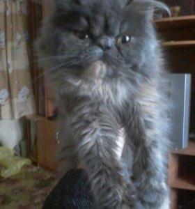 Отдам персидскую кошку в добрые руки.