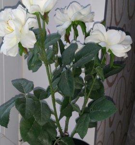 Необыкновенно красивый куст розы