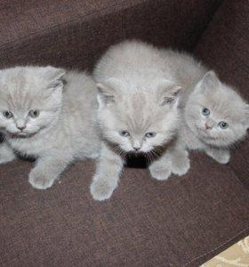 Котята британские лиловые