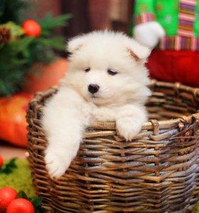 Продаются щенки Самоеда