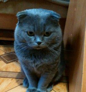 Вязка с шикарным вислоухим котом. Котята.