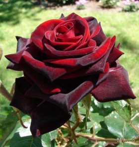 Саженцы Роз, фруктовых деревьев, кустарники