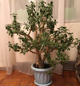 Продам живое дерево
