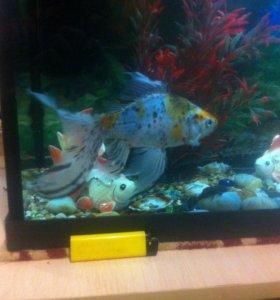 золотая рыбка,сом звездачет