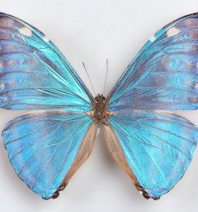 Яркие Живые Бабочки из Пакистана Белый Морфо