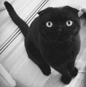 Кот на вязку шотландец вислоухий