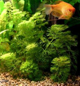 Водоросли в аквариум