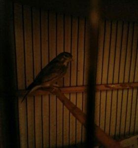 Певчие лесные птицы