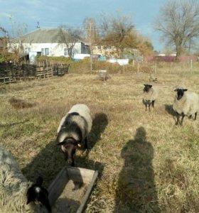 Романовские овцы и баран