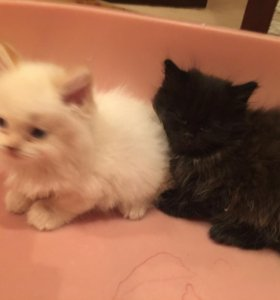 Котята пушистые чёрный и белый