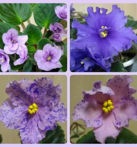 Фиалка (сенполия) на цвету