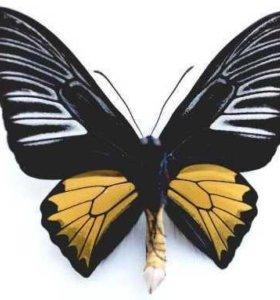 Тропические Живые Бабочки из ЮАР Болина