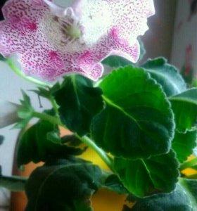 Глоксиния Розовый ситец