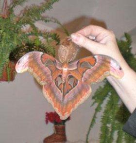 Тропические Живые Бабочки из Чили Медный всадник