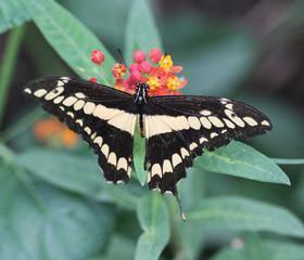 Яркие Живые Бабочки из Коста Рикки Аргиад