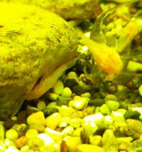 Сомики-анцитрусы мальки 1.5-2 см